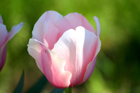 A Soft Light on a Pink Tulip