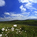 Bog Cotton blowing in the wind by E li s a beth