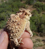 "<a href=""http://www.flickr.com/photos/randomtruth/4741199878/"">Photo of Phrynosoma blainvillii by randomtruth</a>"