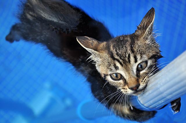 little swimming pool cat