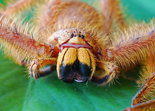Malaysian Orange Huntsman (Thelcticopis modesta)