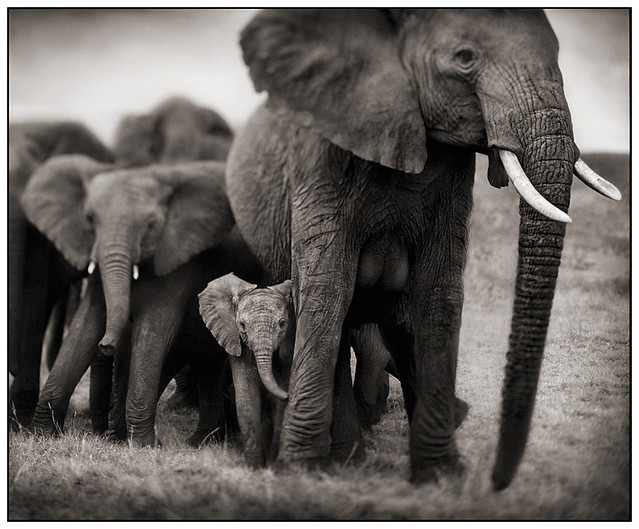Elephant Mother & Two Babies, by Nick Brandt