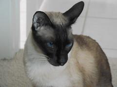 oriental shorthair(0.0), korat(0.0), burmese(0.0), nebelung(0.0), russian blue(0.0), animal(1.0), siamese(1.0), small to medium-sized cats(1.0), pet(1.0), european shorthair(1.0), snowshoe(1.0), javanese(1.0), thai(1.0), tonkinese(1.0), cat(1.0), carnivoran(1.0), whiskers(1.0), balinese(1.0), birman(1.0), domestic short-haired cat(1.0),