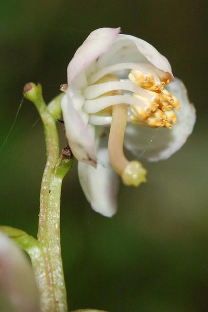 morrisonensis 玉山鹿蹄草
