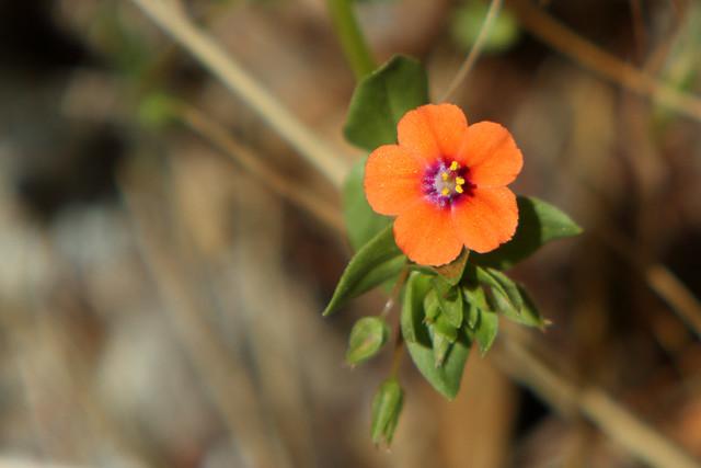 Scarlet Pimpernel in flower | Scarlet pimpernel (Anagallis ...