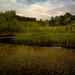 blooming pond weed