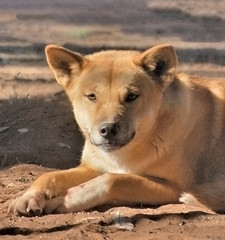 dog breed(1.0), animal(1.0), dingo(1.0), akita inu(1.0), dog(1.0), czechoslovakian wolfdog(1.0), shiba inu(1.0), pet(1.0), street dog(1.0), shikoku(1.0), mammal(1.0), greenland dog(1.0), finnish spitz(1.0), korean jindo dog(1.0), wolfdog(1.0), saarloos wolfdog(1.0),