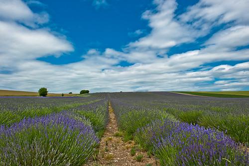 nikon farm lavender nikkor hertfordshire hitchin herts d700 kenchie hitchinlavenderhertshertfordshire