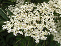 apiales(0.0), yarrow(0.0), blossom(0.0), iberis sempervirens(0.0), candytuft(0.0), anthriscus(0.0), meadowsweet(0.0), shrub(1.0), flower(1.0), cow parsley(1.0), plant(1.0), herb(1.0), flora(1.0),