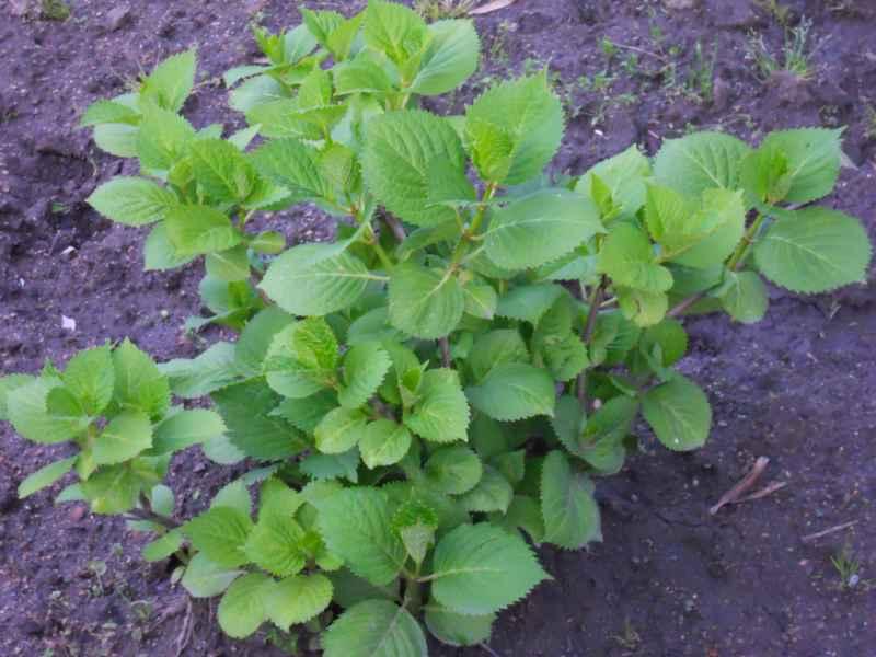 Hydrangea macrophylla 1