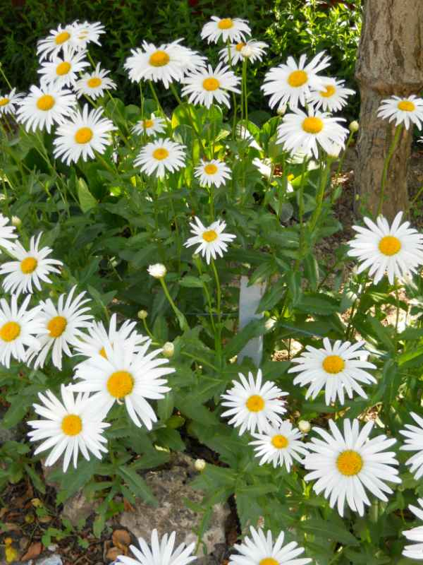 Chrysanthemum frutescens v 4