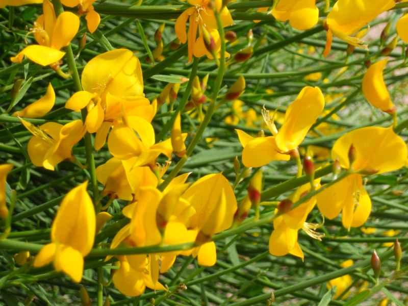Cytisus scoparius flor 4