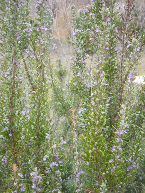 Rosmarinus officinalis 'Corsican Blue' v 3