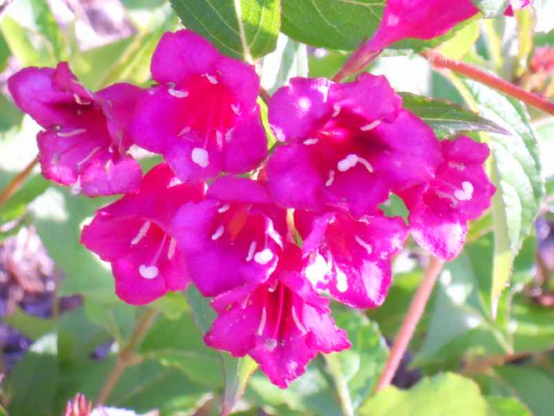 Weigela florida 'Eva Rathke' flor 4