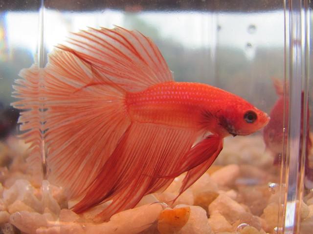 orange halfmoon betta fish flickr photo sharing