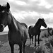 Small photo of Wild horses