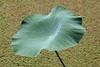 Photo:Lotus Leaf / 蓮の葉(はすのは) By TANAKA Juuyoh (田中十洋)