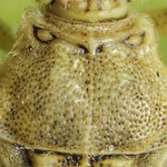 pettyeslábú üvegszárnyú-poloska - Stictopleurus abutilon