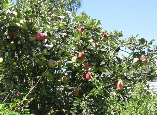 Dwarf Anna Apple tree