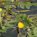 Floating-leaved Pondweed - Photo (c) HermannFalkner/sokol, some rights reserved (CC BY-NC)