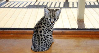 F1 Savannah Cat FOCUS