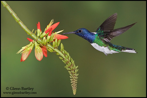 White-necked Jacobin - 02