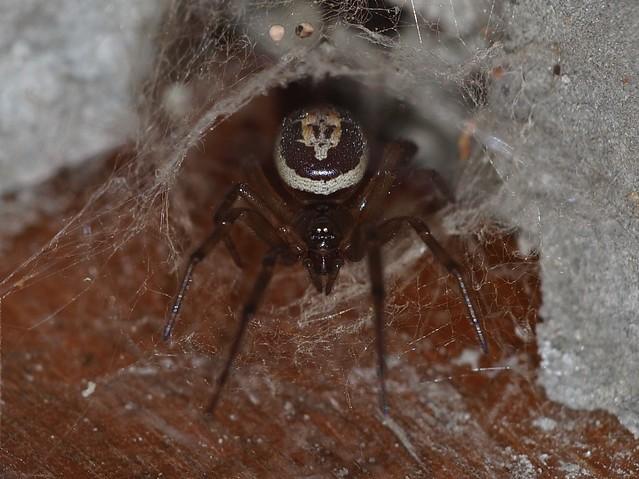Araña con Calavera