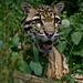 Mainland Clouded Leopard - Photo (c) Spencer Wright, some rights reserved (CC BY)