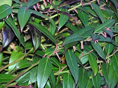 Drooping Leucothoe or Doghobble