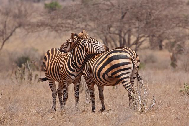 Zebras in Tsavo East hiding their outline