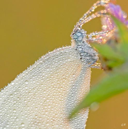 Papillon à la rosée 2.
