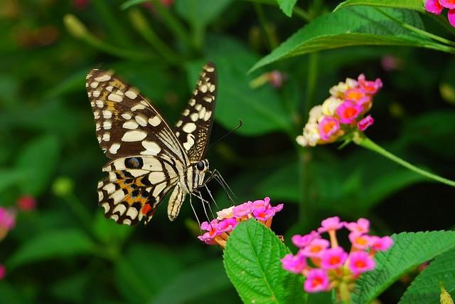無尾鳳蝶 Papilio demoleus libanius