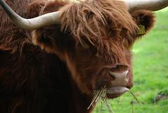 texas longhorn(0.0), cattle-like mammal(1.0), animal(1.0), mane(1.0), bull(1.0), grass(1.0), mammal(1.0), horn(1.0), grazing(1.0), ox(1.0), fauna(1.0), muskox(1.0), close-up(1.0), cattle(1.0), yak(1.0), pasture(1.0), wildlife(1.0),
