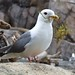 Red-legged Kittiwake - Photo (c) Travis, some rights reserved (CC BY-NC)