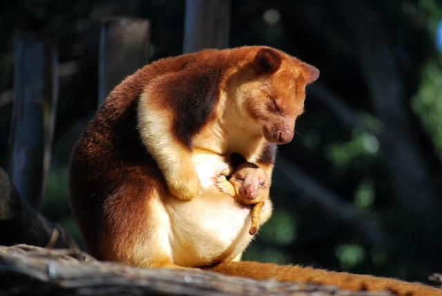 Tree-kangaroo and joey | Flickr - Photo Sharing!