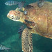 Green Turtle - Photo (c) Mathieu Bertrand Struck, some rights reserved (CC BY-NC-ND)