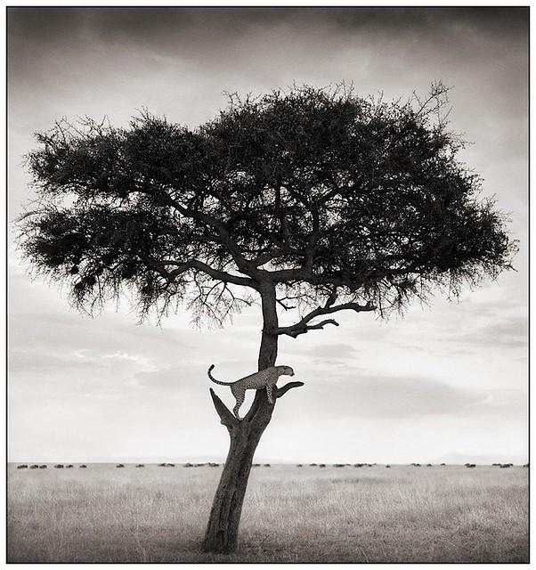 Cheetah in Tree, Massai Mara, by Nick Brandt 2003