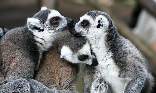 Kattalemur - Lemur catta