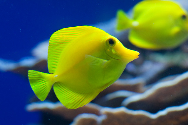 yellow fish Find great deals on ebay for yellow tail fish shop with confidence.