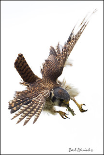 Falcon (Kestrel) - 0807