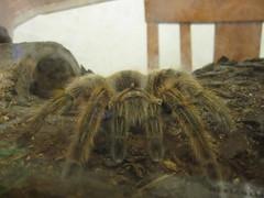 wolf spider(0.0), arthropod(1.0), animal(1.0), spider(1.0), invertebrate(1.0), macro photography(1.0), fauna(1.0), close-up(1.0), tarantula(1.0), wildlife(1.0),