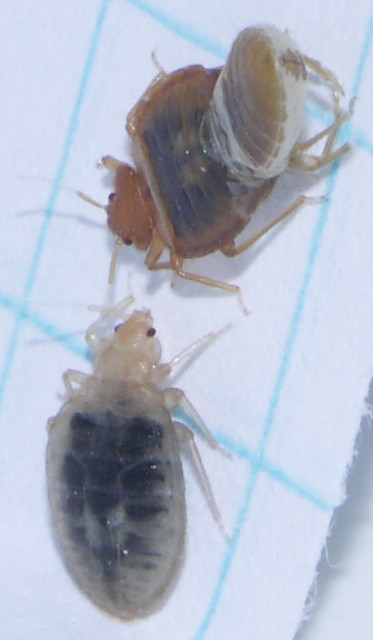 Recently Molted Adult Bed Bugs Flickr Photo Sharing