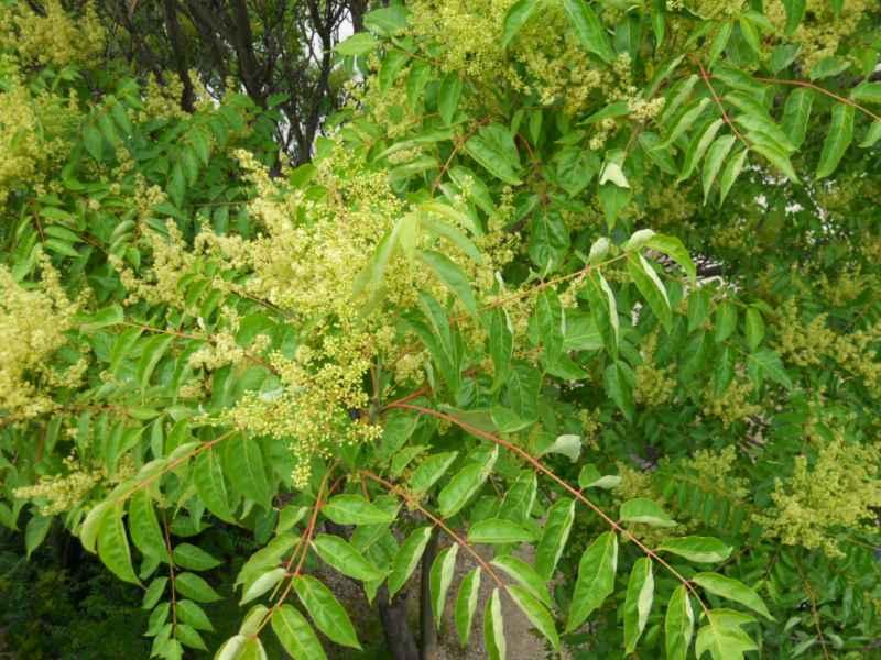 Rhus verniciflua hojas 3