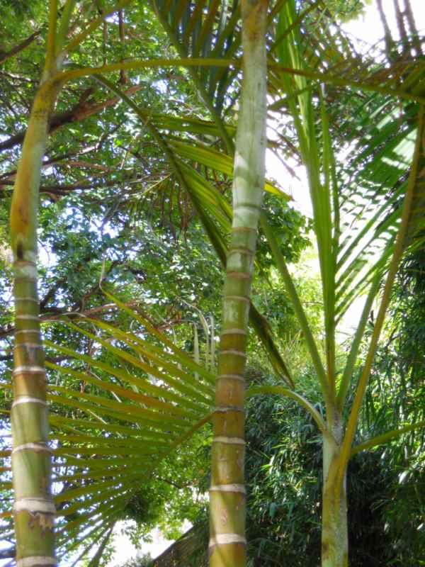 Chrysalidocarpus lutescens detalle 3