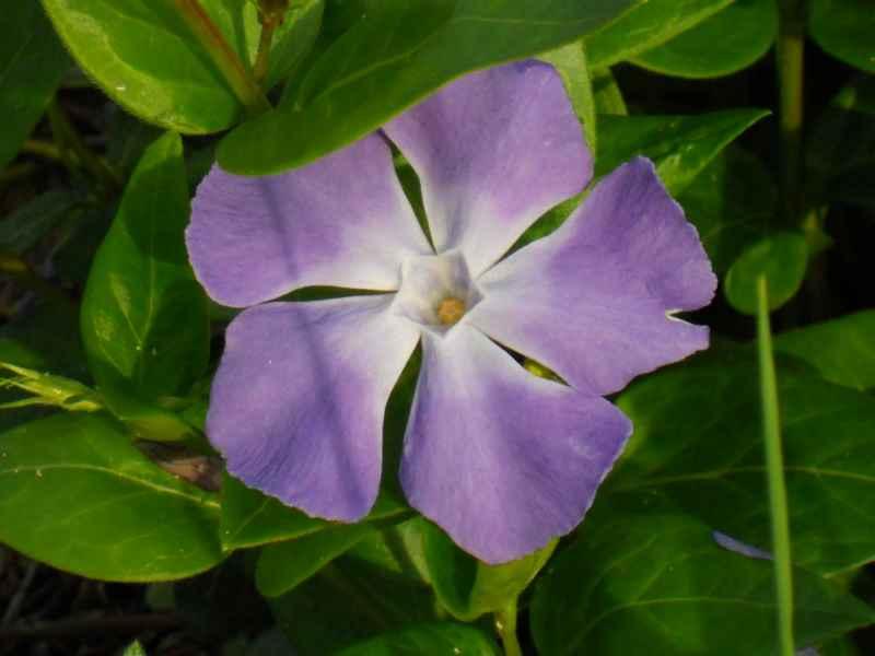Vinca major flor 2