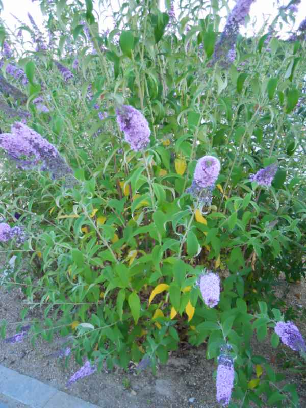 Buddleja davidii 'Empire Blue' v 1