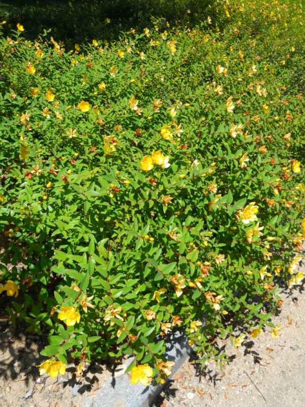 Hypericum hoockerianum 'Hidcote' v 2
