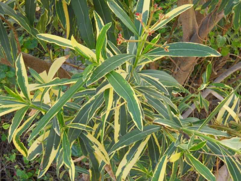 Nerium oleander 'Variegatum' detalle 2