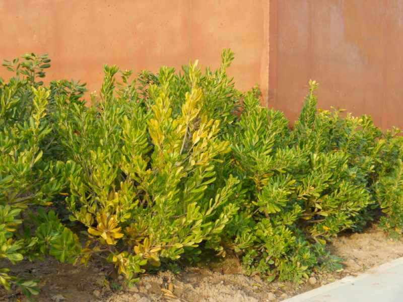 Pittosporum tobira 1