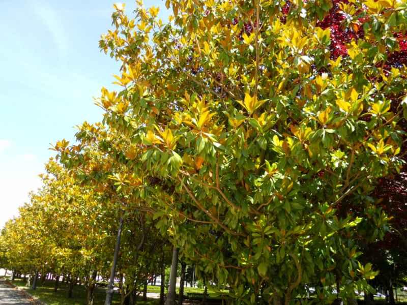 Magnolia grandiflora 5